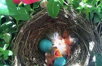 Baby birds in a nest. Photo by USFWS.