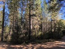 Clusters of pine trees on the project site. Photo by Davis Harper, Calaveras Enterprise.