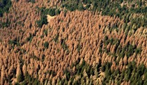 Tree mortality. Photo by USDA.