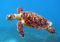 Hawksbill Sea Turtle. Photo by DOI.