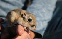 Stephens' kangaroo rat. Photo by USFWS.