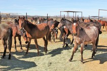 Fillies available for adoption on Ridgecrest. Photo by JJ Nolan, BLM.