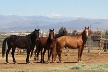 Ridgecrest wild horses. Photo by JJ Nolan, BLM.