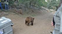 California bear. Photo by CDFW.