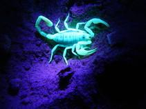 Scorpion in the CA desert. Photo by Michelle Puckett, BLM.