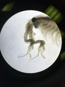 Fairy shrimp. Photo by BLM.