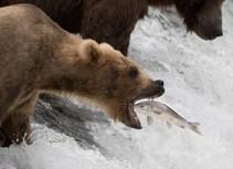 Bear catching a bear. Photo by NPS.