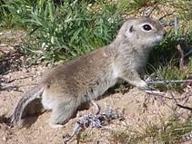 Ground squirrel. Photo by CDFW.