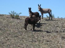 Wild Burros. BLM Photo