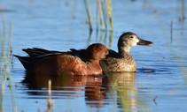 Cinnamon teal in wetlands