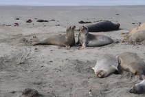 Juvenile elephant seals tussle with each other on the sand at Piedras Blancas
