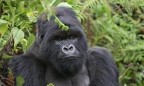 A photo of a mountain gorilla.