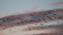 Sand cranes flying in a sunset sky.