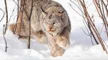 A photo of a Lynx in snow.