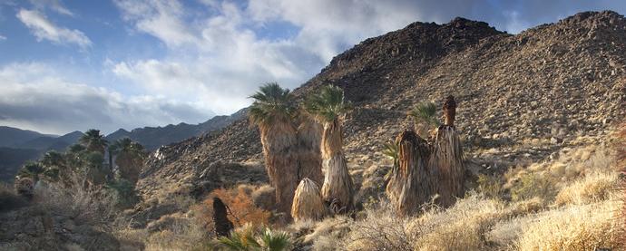 Palms in the Santa Rosa & San Jacinto Mountain National Monument