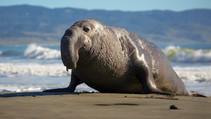 A photo of an elephant seal on a beach.
