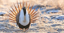 A photo of a sage grouse.