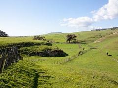 Cows graze on lush green hills.