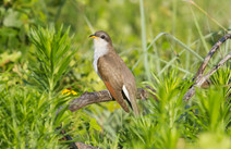 A photo of a Yellow-billed Cuckoo