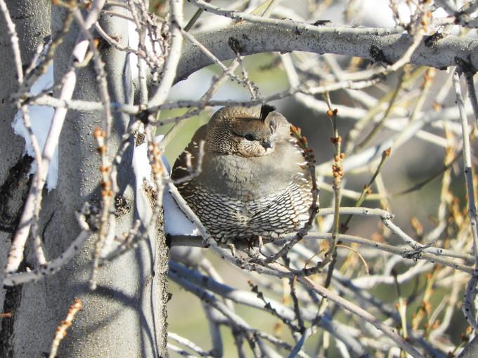 California quail.