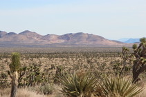 An image of a desert area with Joshua trees growing throughout.