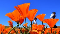 Orange poppy flowers set against a bright blue sky.