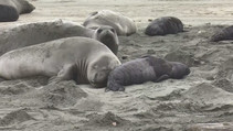 Elephant seals on a beach.