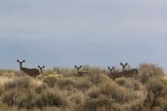 Mule dear in a filed  of tall grass.