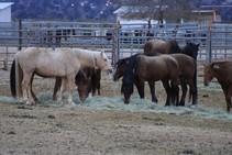 Horses eating hay.