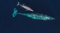 A mama and calf gray whale swimming in the ocean.