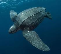 Pacific leatherback sea turtle (Dermochelys coriacea)