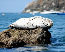 A seal laying on a rock off the coast of California.