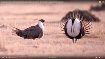 Video Still of a sagebrush grouse.