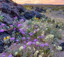Wild flowers in a desert landscape.