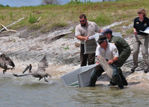 DOI employees releasing pelicans on the shore of a body of water.