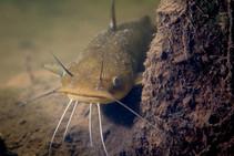 Yellow bullhead catfish.