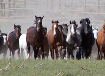 a heard of wild horses .