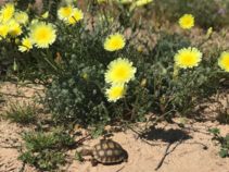 Yellow flowers with a small tortoises.