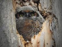 Great horned owl chick in a tree trunk.