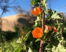 An orange wildflower.