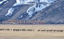 Elk migrating.