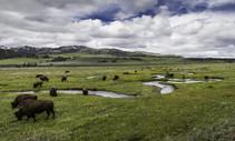 Bison grazing.