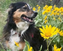 A dog in a patch of yellow wild flowers.