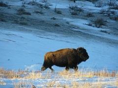 Bison walking gin snow.