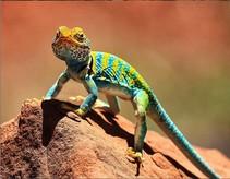 Common collared lizard.