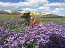 A K9 dog in a field of wildflowers.