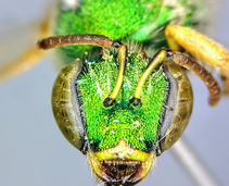 A close up of a green insect.