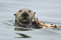 Sea otter eating a crab.
