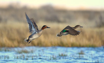 Green winged teal flying over a lake.