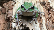 A tree frog.